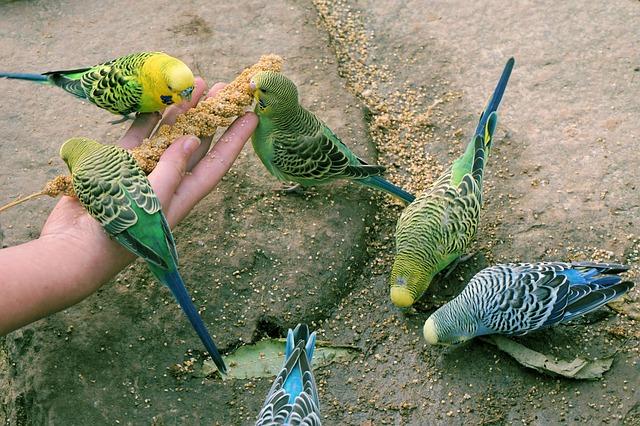Алабай вместо волнистого попугая